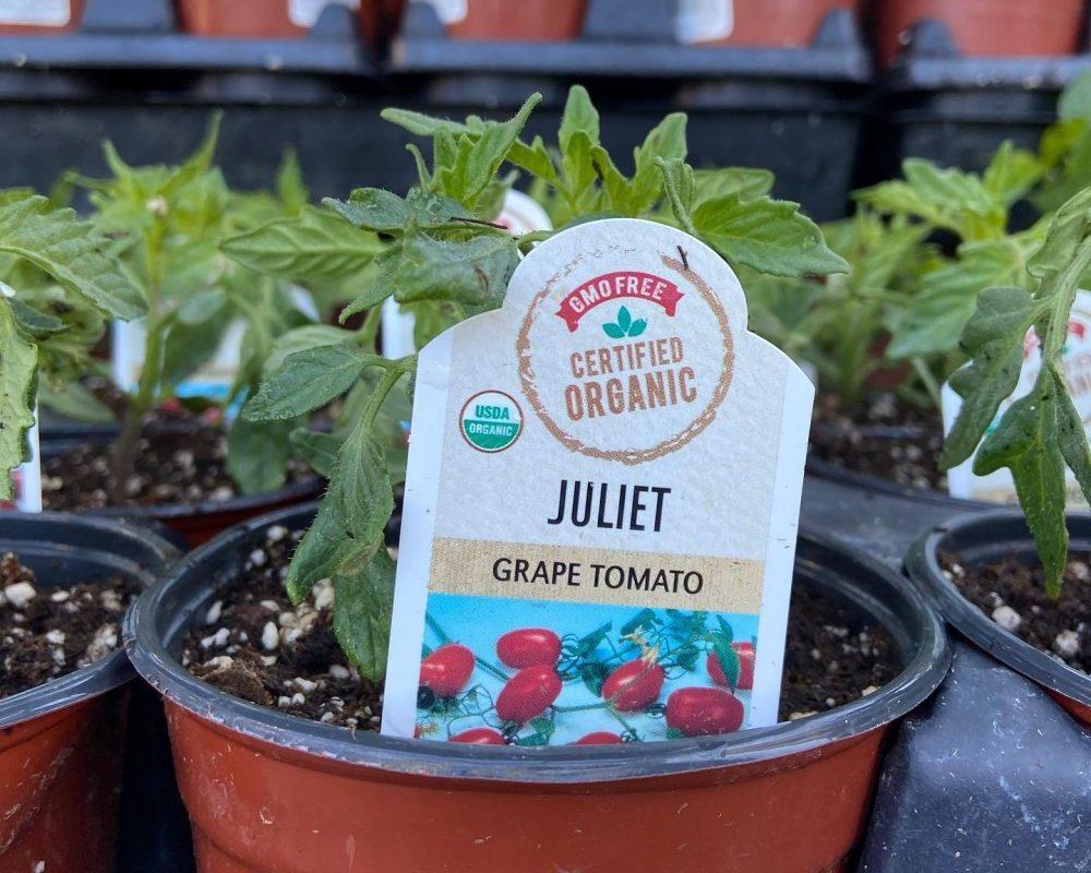 Tomato Plant at Bishop nursery