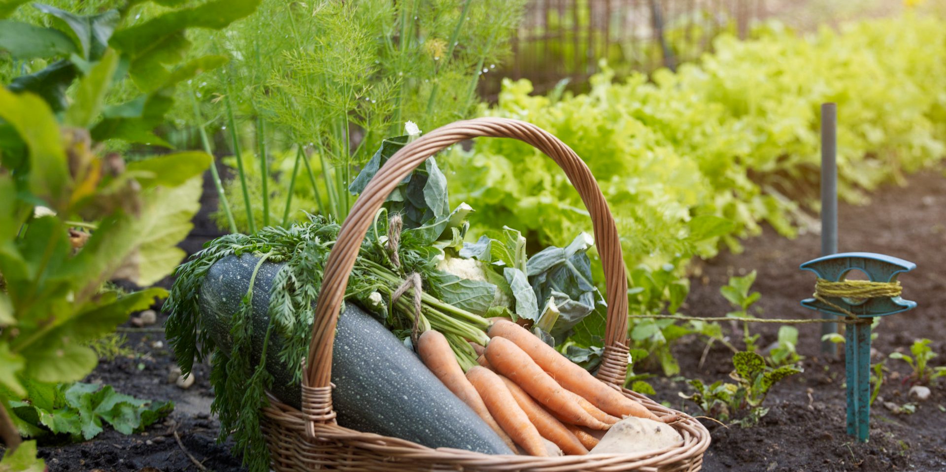 Carrots, zucchini, cauliflower out of a garden