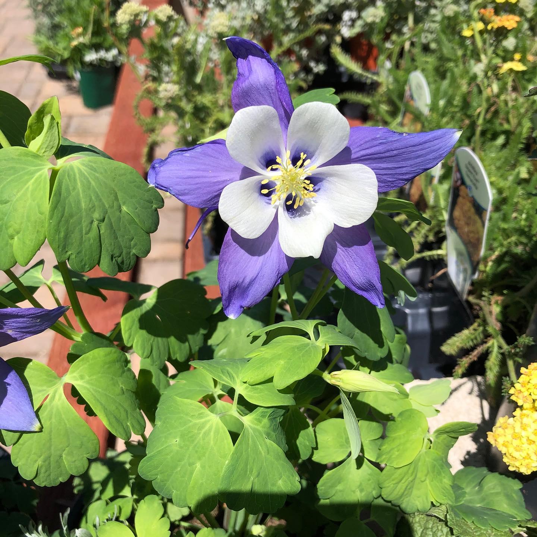 Columbine Flowers Blooming